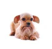 Shih Tzu dog stock photo