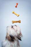Shih tzu dog. With bones royalty free stock photos