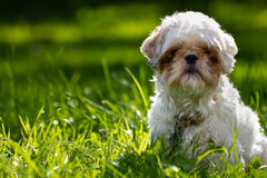 Shih Tzu Dog. Shih Tzu sitting in grass with plenty of room on left side to place text or design elements Royalty Free Stock Photography