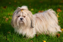 Shih tzu dog Royalty Free Stock Photo