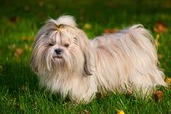 Shih tzu dog. On grass Royalty Free Stock Photo
