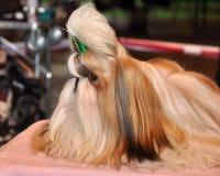 Shih Tzu Dog Fotos de archivo libres de regalías