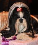 Shih Tzu Dog Fotografía de archivo libre de regalías