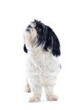 Shih-tzu dog. Isolated on white royalty free stock photos