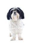 Shih-tzu dog. Isolated on white stock images
