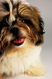 Shih Tzu dog Stock Photos