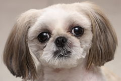 Shih Tzu dog. This is a Shih Tzu so I heard. It is a very nice little dog. Some find these very ugly, while others love the sweet face of it stock image
