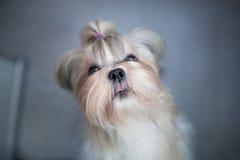 Shih tzu dog Royalty Free Stock Images