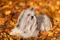 Shih tzu dog. Autumn portrait royalty free stock photography