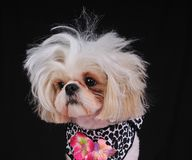 Shih Tzu Dog Bad Hair Day stock photo