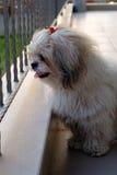 Shih tzu dog in balcony. Shih tzu dog is sitting at balcony royalty free stock photo