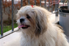 Shih tzu dog in balcony. Shih tzu dog is sitting at balcony royalty free stock image
