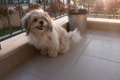 Shih tzu dog in balcony. Shih tzu dog is sitting at balcony stock photos