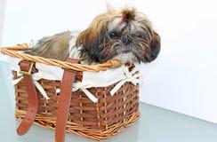 Shih-tzu dog Royalty Free Stock Images