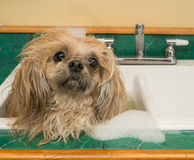 Shih Tzu dog bath in sink. A Shih Tzu dog getting his bath in the kitchen sink stock photography