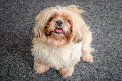 Shih Tzu dog. Beautiful Shih Tzu dog looking up at hte camera royalty free stock photo