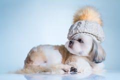 Shih tzu dog Royalty Free Stock Image
