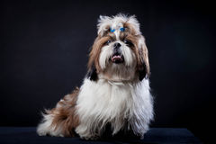 Shih Tzu dog on a black background. Funny Shih Tzu dog in studio on a black background royalty free stock image