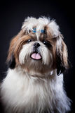 Shih Tzu dog on a black background. Funny Shih Tzu dog in studio on a black background royalty free stock photography