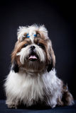 Shih Tzu dog on a black background. Funny Shih Tzu dog in studio on a black background stock photos