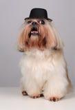 Shih Tzu dog in a black hat royalty free stock photos