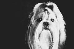 Shih tzu dog. Black and white film style portrait stock photos