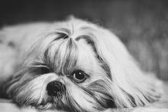 Shih tzu dog. Black and white portrait royalty free stock photos