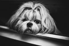 Shih tzu dog. Black and white portrait royalty free stock images