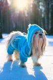 Shih tzu dog Royalty Free Stock Photography