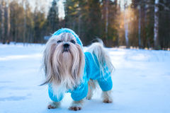 Shih tzu dog. In blue knitted sweater winter outdoors portrait Stock Images