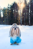 Shih tzu dog. In blue knitted sweater winter outdoors portrait stock image