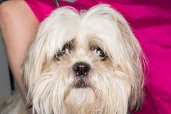 Shih-tzu dog breed face close-up. And pink background stock photo