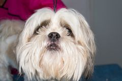 Shih-tzu dog breed face close-up with hair covering his eyes. Shih-tzu dog breed face close-up royalty free stock images