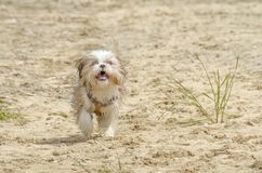 Shih Tzu Puppy running on beach. Shih Tzu Dog Breed - Shih Tzu Puppy running on beach royalty free stock images