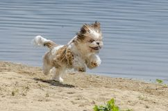 Shih Tzu Dog Breed. Shih Tzu Puppy on sand - Shih Tzu Dog Breed stock images