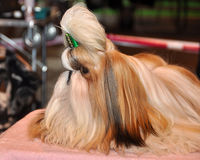 Shih Tzu Dog. Dog of breed shih-tzu. A shih tzu is a toy dog breed with long silky hair. The breed originated in China. The Shih Tzu is a small toy dog with a royalty free stock photos