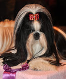 Shih Tzu Dog. Dog of breed shih-tzu. A shih tzu is a toy dog breed with long silky hair. The breed originated in China. The Shih Tzu is a small toy dog with a royalty free stock photography