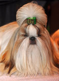Shih Tzu Dog. Dog of breed shih-tzu. A shih tzu is a toy dog breed with long silky hair. The breed originated in China. The Shih Tzu is a small toy dog with a stock images