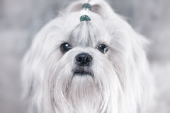 Shih tzu dog. Bright white colors stock images