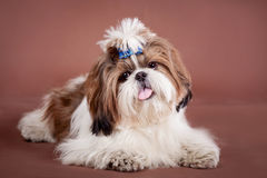 Shih Tzu dog on a brown background. Funny Shih Tzu dog in studio on a brown background royalty free stock photos