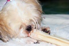 Shih tzu dog chewing on a bone Royalty Free Stock Photos