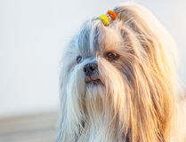 Shih-tzu dog. Close-up outdoors portrait stock image