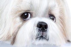 Shih tzu dog. Close-up portrait royalty free stock photography