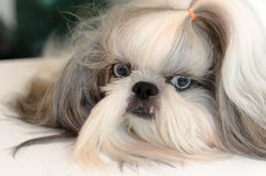 Shih Tzu Dog. Dog Shih Tzu closeup face royalty free stock photos