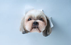 Shih tzu dog. Cute shih tzu dog looking through hole in white paper royalty free stock photography