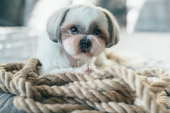 Shih tzu dog Royalty Free Stock Image