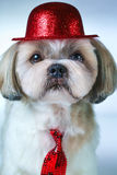 Shih tzu dog. Cute shih tzu dog in red hat and tie portrait on white and blue background stock photos
