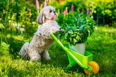 Shih tzu dog. Cute shih tzu dog in summer garden with wheelbarrow and plant royalty free stock photo