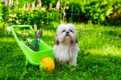 Shih tzu dog. Cute shih tzu dog in summer garden with wheelbarrow and tools stock image