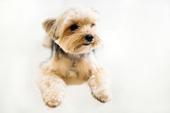 Shih tzu dog so cute in the white background Stock Photography